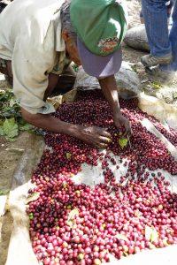 Сортиране на кафе в Ел Салвадор